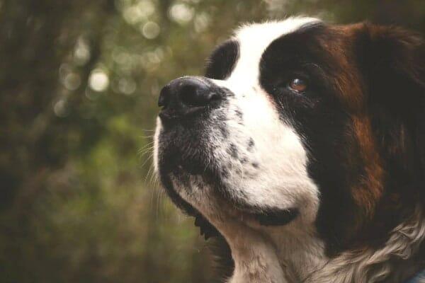 photo of st. bernard dog's face