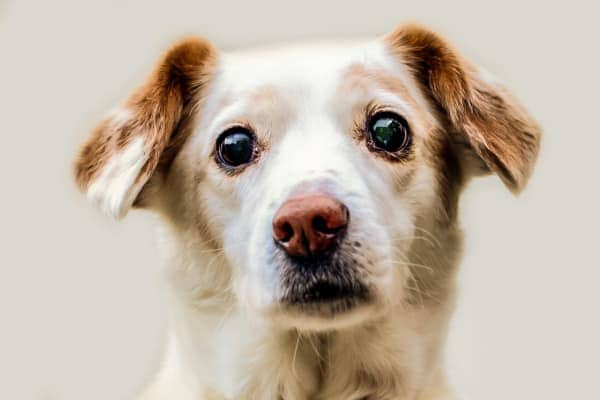 Small, sweet older dog's face, photo