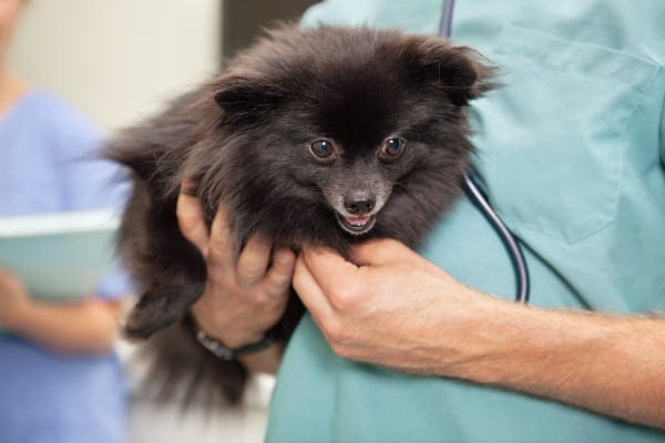 Vet listening to the heart of a small dog to check for signs of heart disease in dogs, photo