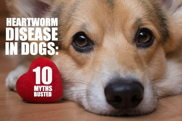 Heartworm Disease In Dogs The Top 10 Myths And Why Dr Buzby Doesn