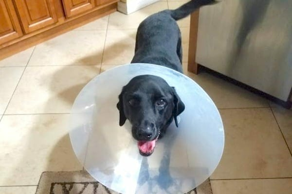 Black labrador retriever wearing a surgical cone, photo
