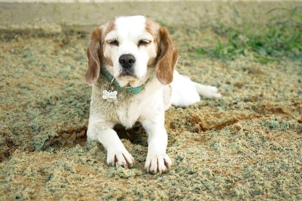 Senior Beagle lying outdoors, photo
