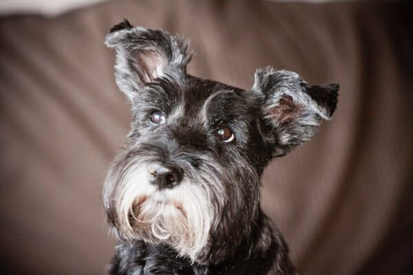 Schnauzer looking up with head slightly tilted, photo
