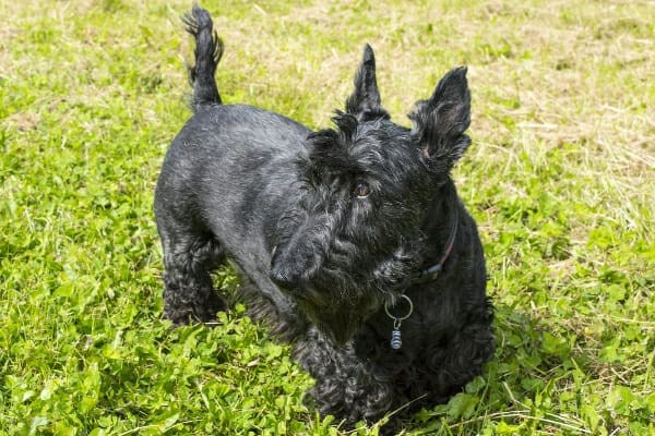 Scottish Terrier outdoors in the grass, photo