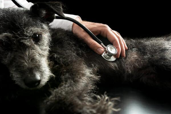 Vet using stethoscope to listen to an older dogs heart, photo
