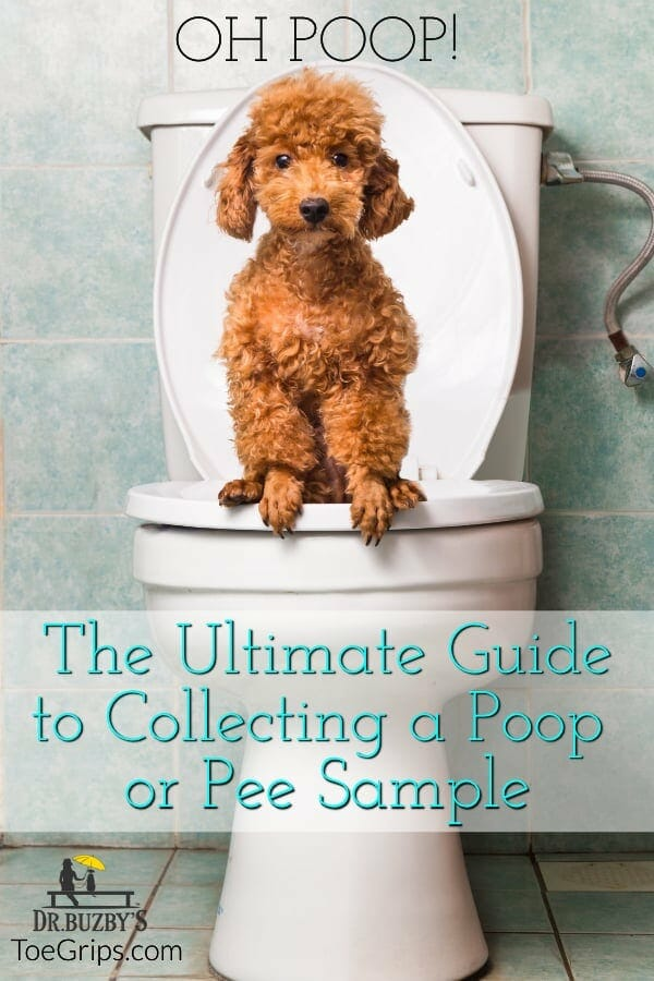 photo red poodle sitting on a toilet and title oh poop! the ultimate guide to collecting a poop or pee sample for dog lab tests