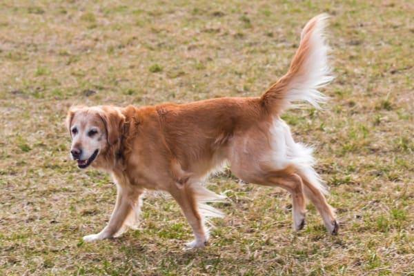 Golden retriever running in field, photo