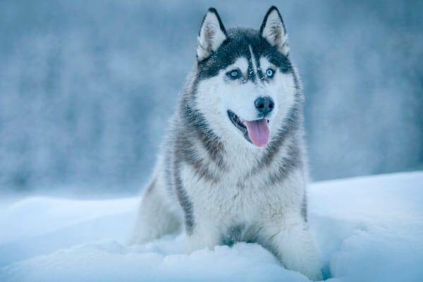 photo of a huskie in snow as an example of arctic breeds more susceptible to heat stroke in dogs