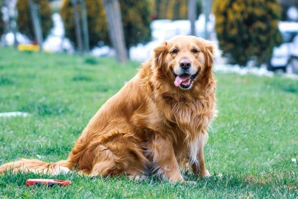 overweight-golden-retriever, photo