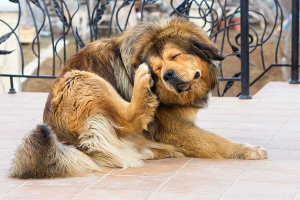 a dog scratching obsessively, showing signs he may need allergy medicine for dogs, photo