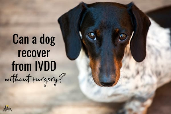 dog herniated disc steroids