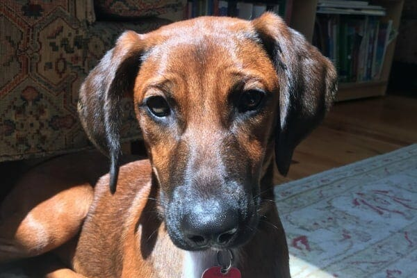sweet face of jake the redbone hound who was once a stray puppy