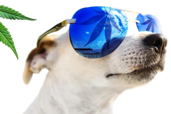 dog with sunglasses hemp leaf on shades, photo