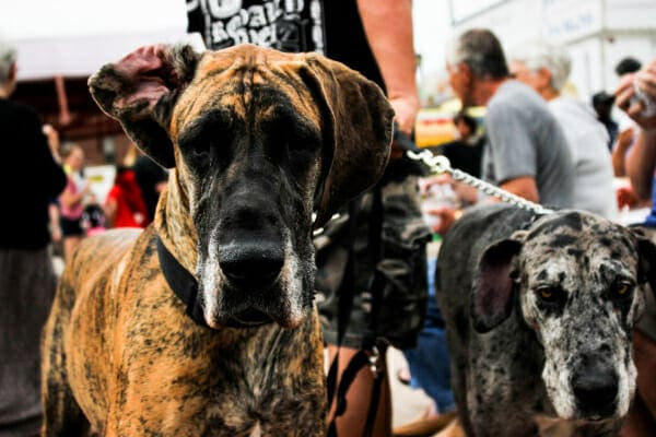 Two Great Danes on a walk in a street fair, photo