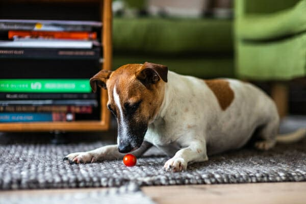 Jack Russell Terrier playing with a ball on the rug, photo