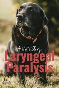 photo black Labrador Retriever and  title A Vet's Story: Laryngeal Paralysis