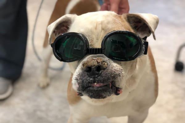 Bulldog wearing doggles, photo