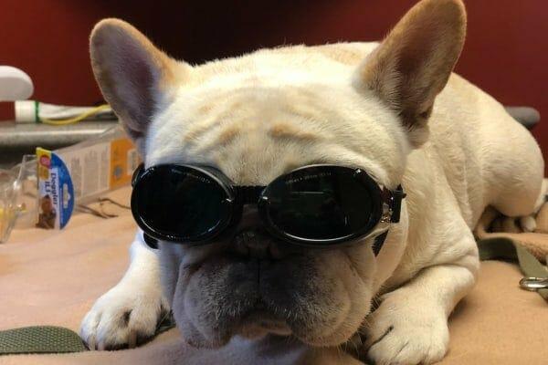 French Bulldog wearing doggles, photo