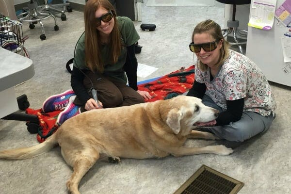 Two veterinary technicians performing laser therapy on an old lab, photo