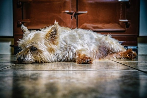 Yorkshire terrier, one of the breeds more prone to pancreatitis in dogs, lying on floor, photo