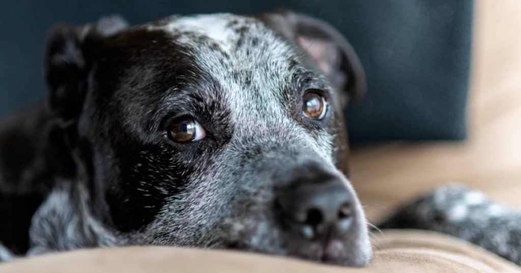pit bull mix close up, photo