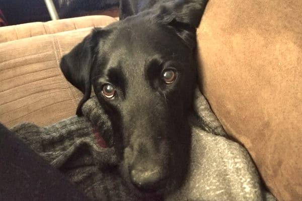 face of dog diagnosed with canine hemangiosarcoma, photo