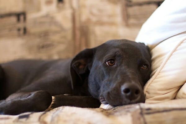 Black lab laying down on the couch, photo