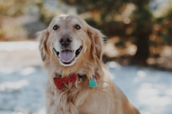 Golden Retriever outside in the snow, photo