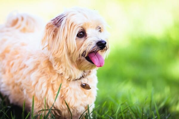 Small terrier playing happily in the grass, photo