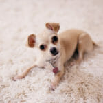 Heart Murmur in Dogs: The Facts About This Sometimes Scary Sound