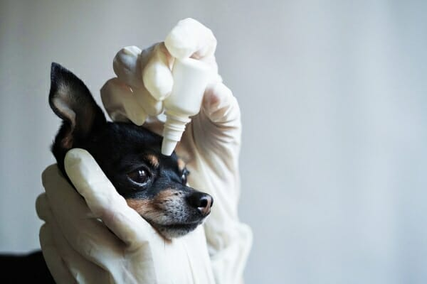 Chihuahua getting eye drops, photo