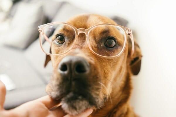 Dog wearing glasses, photo