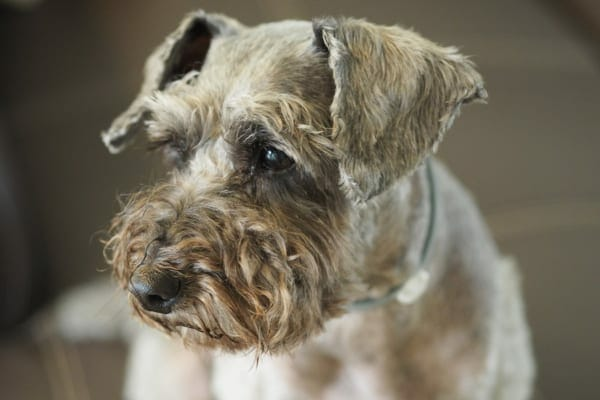 Grey Schnauzer dog looking sad, photo