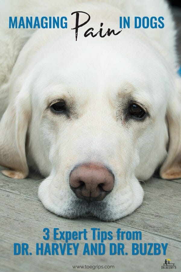 white dog looking sad with title managing pain in dogs 3 expert tips from dr. buzby and dr. harvey