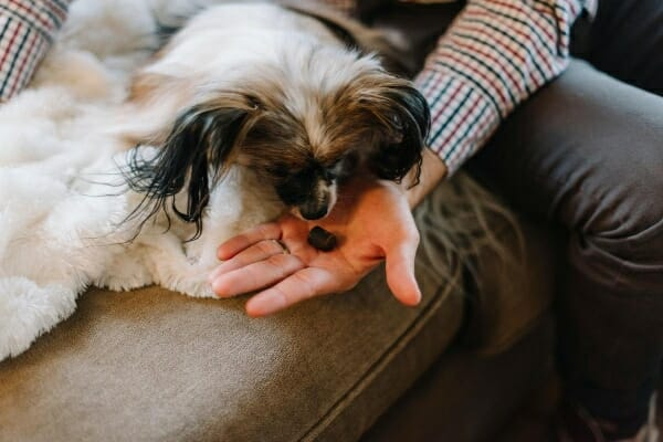 Male owner feeding Papillion a pill, while on the couch, photo