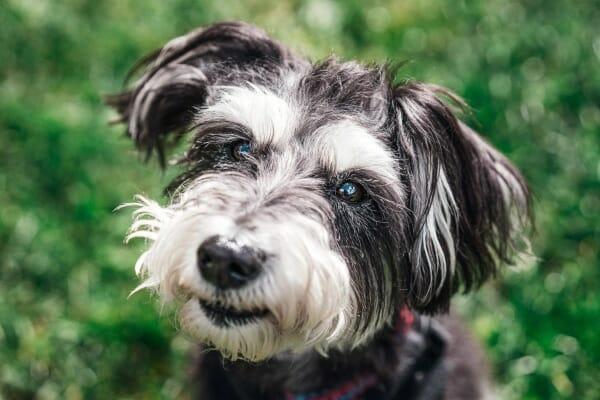 Senior Schnauzer dog in a grassy field with a happy expression, photo