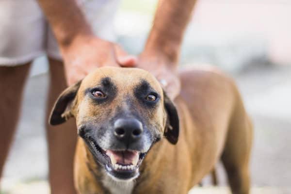 brown senior dog smiling at camera, photo