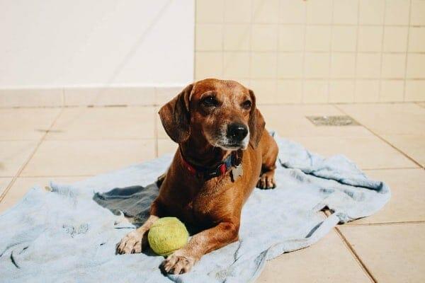 small senior dog with tennis ball lying down, photo