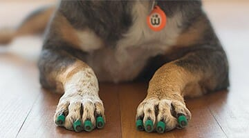Close-up of a senior dog's front paws wearing green ToeGrips dog nail grips and lying on a hardwood floor