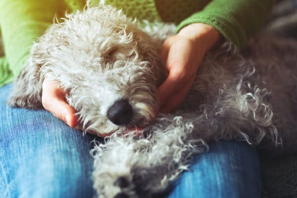 Poodle sleeping in owners lap, photo