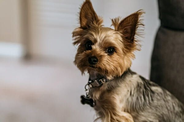 Yorkshire Terrier sitting in the living room, photo