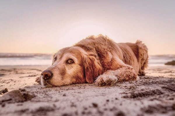 old dog resting the the sand on the beach, photo