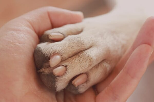 human's hand gently holding a dog's paw as a gesture of love in preparing for dog's euthanasia, photo