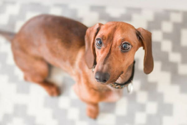 Dachshund looking up, photo
