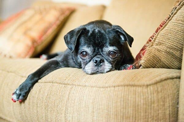 photo pug on couch