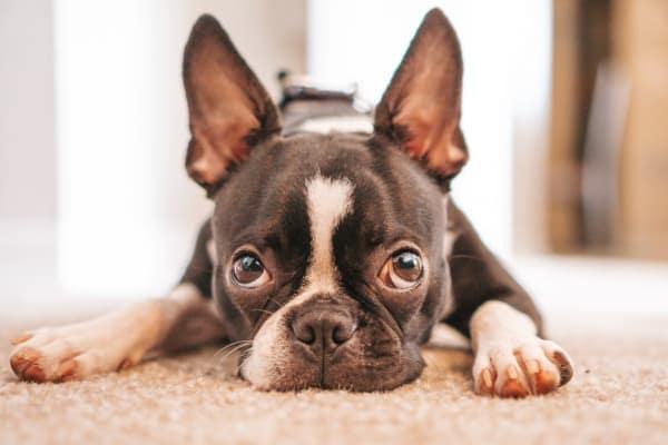 dog with sad face, photo