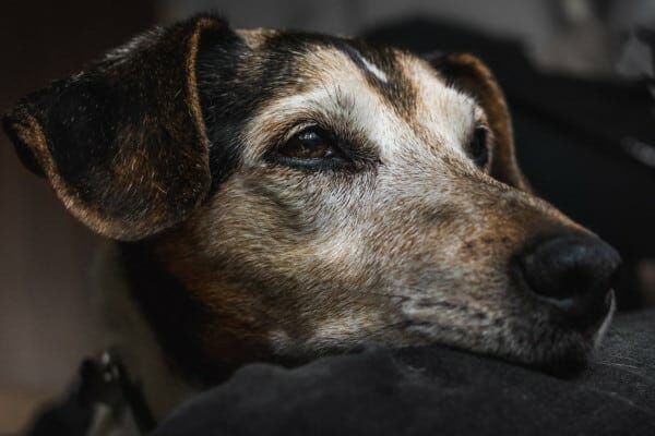 grey-faced senior dog looking into distance. photo.
