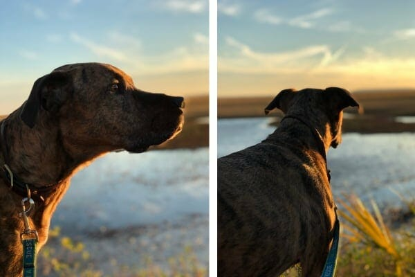 dog at marsh at sunset night before euthanasia