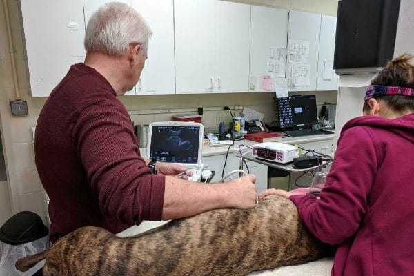 vet performing ultrasound on dog