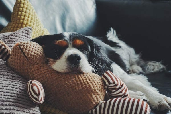 Cavalier King Charles Spaniel lying in bed with a toy, photo